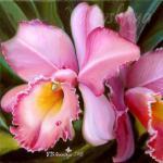 Valevskaya Valentina - Luxury orchid.